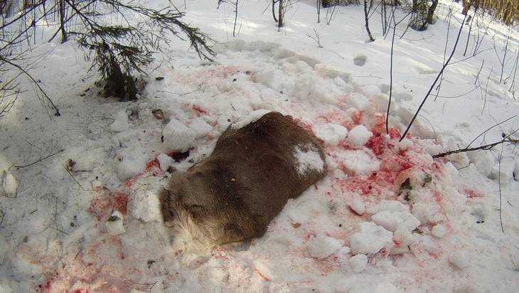 Вбрянском заповеднике убили беременную олениху