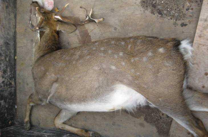 Под колесами машины умер редкостный для брянских лесов пятнистый олень