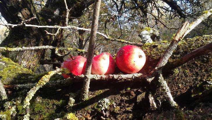Россельхознадзор снова взялся забелорусские яблоки