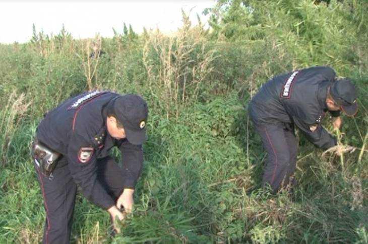 Брянские полицейские извели надым плантацию конопли