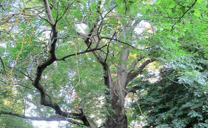 ВБрянске пробуют  сохранить необычайный  300-летний ясень
