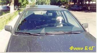 На брянских автомобилистов наступают животные