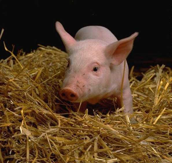 В Брянскую область хотели тайно ввезти свиней