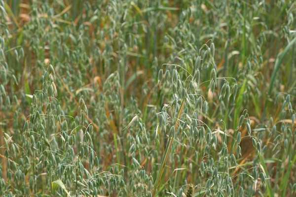 Брянская область потеряла четверть урожая зерновых