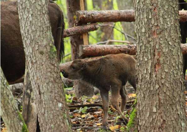 В заповеднике «Брянский лес» родился зубренок