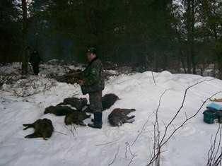 В брянском лесу  погибли шесть кабанов