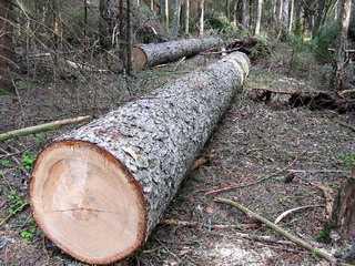 Брянскому лесорубу дали срок за вырубку деревьев