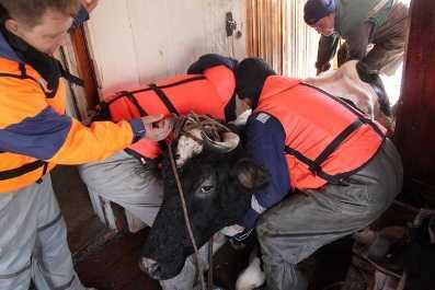 Брянские спасатели вытащили из воды тонувших коров