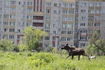 В центре Брянска ловили заблудившегося лося