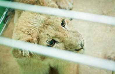 Брянский дрессировщик и его львица не могли вернуться после гастролей в Чите