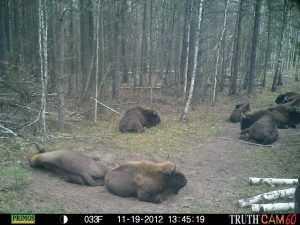 Брянский лес: взгляд из фотоловушки