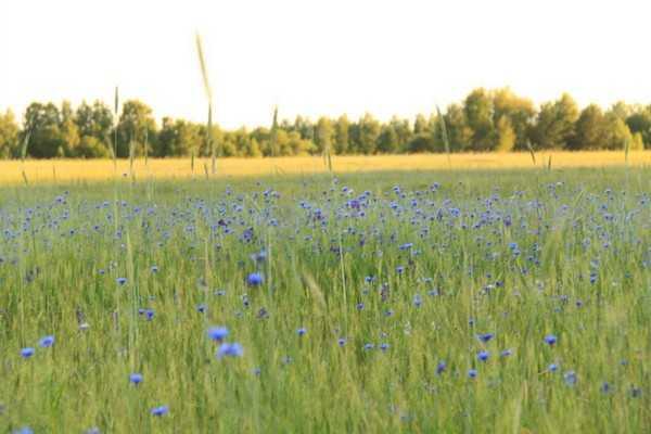 В Погарском районе сгорели шесть гектаров пшеницы