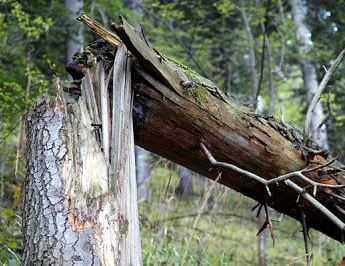 Брянского дровосека убило подпиленным деревом