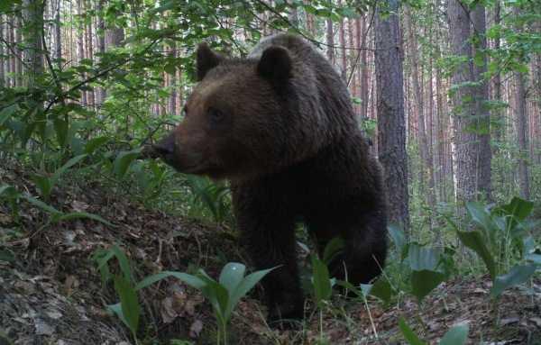 В брянском заповеднике фотоловушка «поймала» медведя