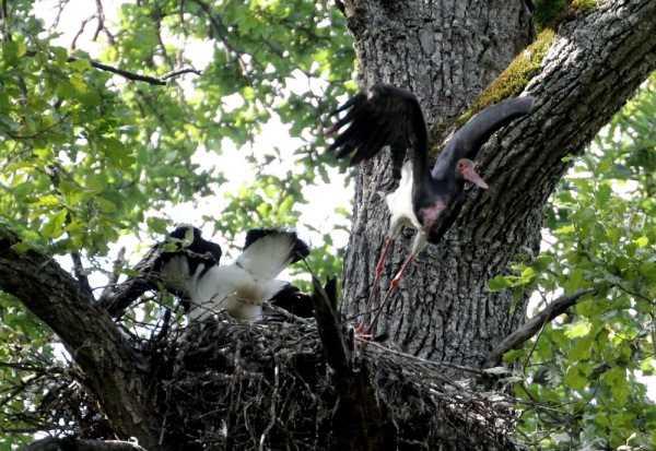 В брянском заповеднике  найдено шесть гнёзд чёрного аиста