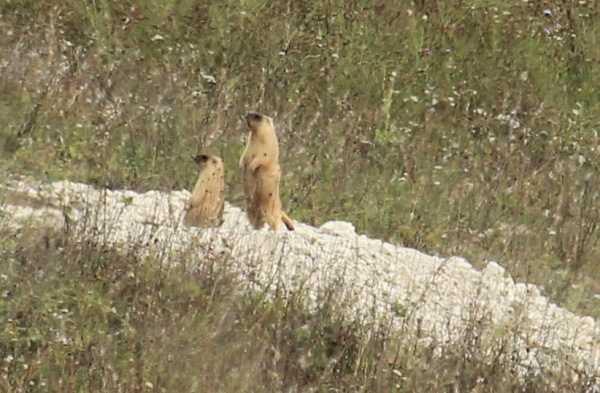 В брянских лесах поселился степной сурок
