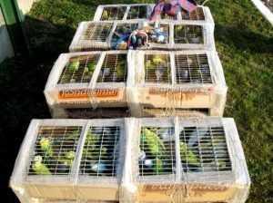 Через Брянскую область пытались провезти 400 попугаев-нелегалов
