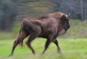 В заповедник «Брянский лес» привезли шесть новых зубров (ФОТО)