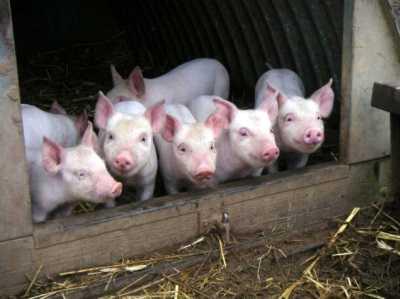 Брянские чиновники посчитают городских свиней