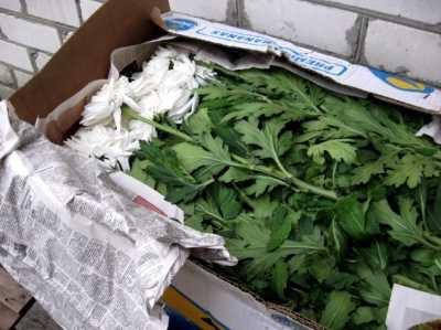 В Брянск не пустили около тысячи заражённых хризантем