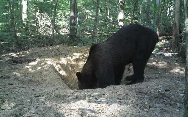 В Брянском заповеднике медведь пытался разорить барсучью нору