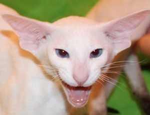 Мурлыкающая выставка в Брянске собрала 150 кошек