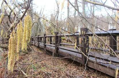 В брянском заповеднике впервые на исходе осени зацвёл орешник