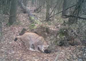 В брянском заповеднике в «фотоловушку» попала рысь с котятами