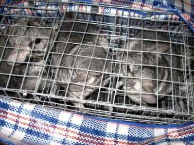 Украинка везла через Брянск в Москву 30 грызунов-нелегалов