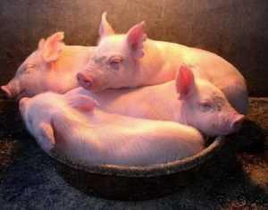 Брянские свиньи поселились в Хвалынске