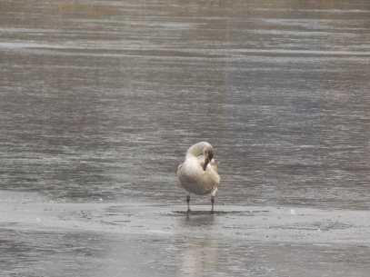 В Брянской области пытаются спасти от гибели замерзающих лебедей