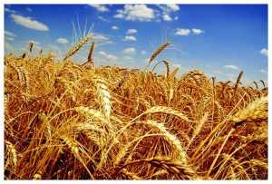 Брянщина в два раза увеличила запасы зерна