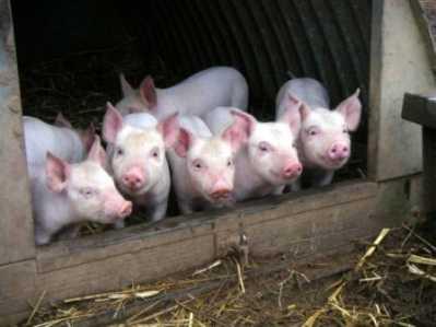 Брянские власти запретили ввозить свиней и перестреляют кабанов