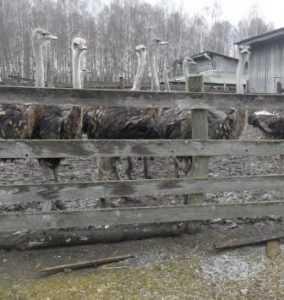 Стадо брянских страусов достигло 150 птиц