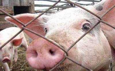 Зараженное африканской чумой мясо попало в брянские магазины