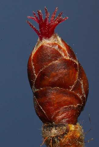 В «Брянском лесу» досрочно зацвёл орешник