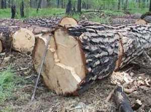 Фирма любимца брянской власти попалась на незаконной вырубке леса