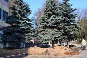 В Брянске на проспекте Ленина выкопали три ели