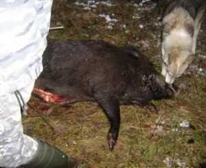 Брянского ветеринара наказали за африканскую чуму