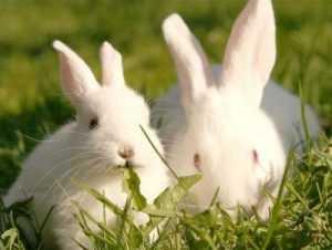 Брянская полиция задержала похитителя кроликов