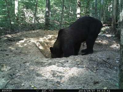 В брянском заповеднике медведи попадут под прицел 20 фотоловушек
