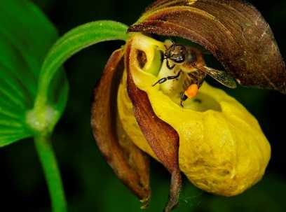 В заповеднике «Брянский лес» выросло 30 редких орхидей