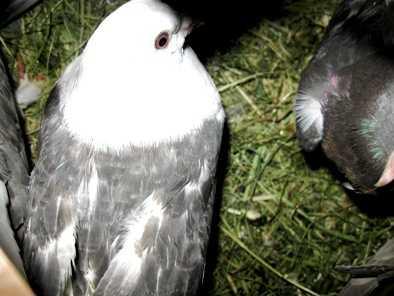 Через Брянск пытались провезти 25 украинских голубей-нелегалов