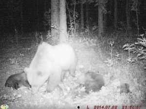 В «Брянском лесу» фотоловушка «поймала» медведицу с медвежатами