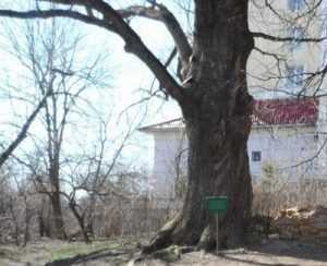 Над 300-летним ясенем в центре Брянска нависла угроза уничтожения