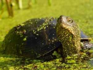 В брянском заповеднике поселилась редкая черепаха