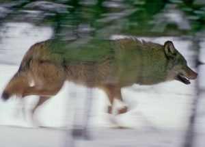 Шестилетнего брянского малыша в жирятинском селе загрыз волк