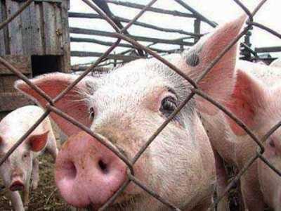 Брянщина получит почти 116 миллионов на войну со свиной чумой