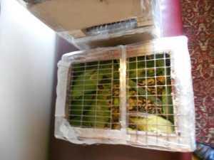 Из Брянска на Украину вернули чертову дюжину попугаев
