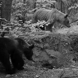 В «Брянском лесу» появилась еще одна медведица с двойней